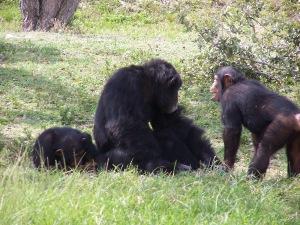 chimps-1-1396978