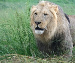 lions-5-1523009-639x544