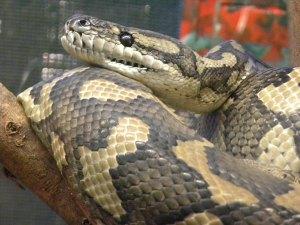 carpet-python-morelia-spilota-1619889